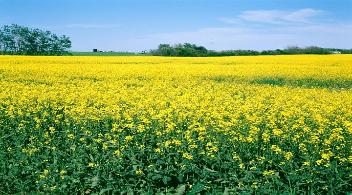 Continuing Demand for Oilseed Products to Boost Global Oilseed Farming: Ken Research
