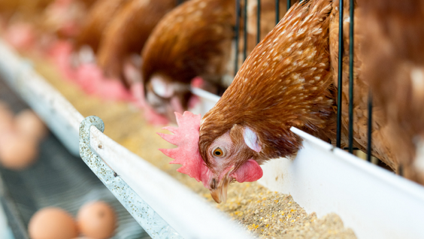 Rise in Consumption of Poultry Meat Expected to Drive World Poultry Feed Market over the Forecast Period: Ken Research