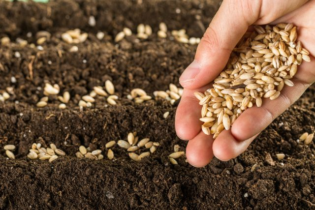 Increasing Usage of Hybrid Seeds in Agriculture and Significant Impact on the Seed Market Outlook: KenResearch