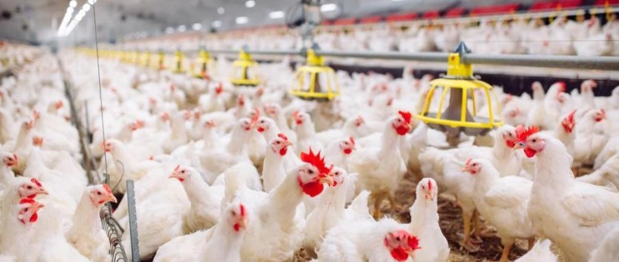 Rise in Poultry Products Consumption to Drive Global Poultry Manufacturing Market: Ken Research