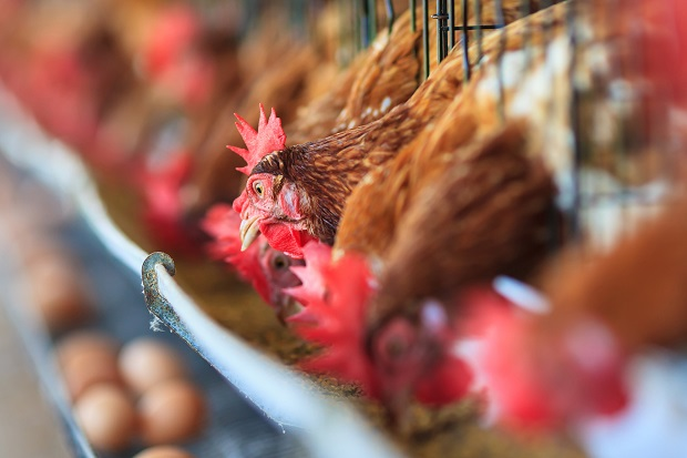 Future Growth of Global Organic Poultry Market: KenResearch