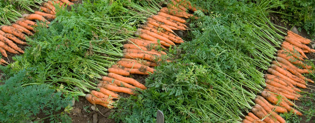 Global Carrot Harvester Market-  Application Analysis, Growth Rate And Forecast2021-2027