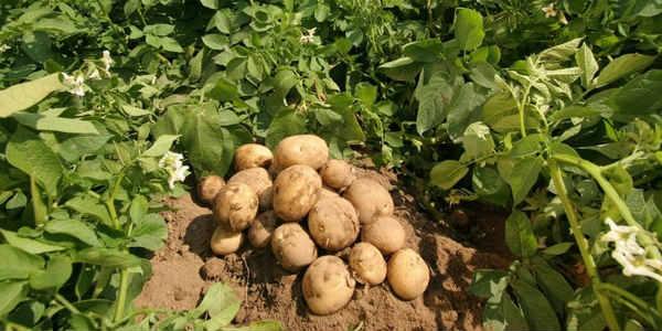 Global Potato Harvester MarketOutlook